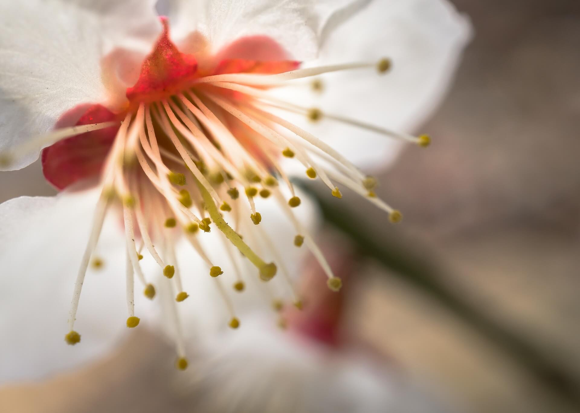 cherry-blossom-2148842_1920